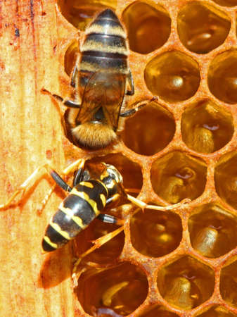 Wasps steal honey from bees and carry in the nest.