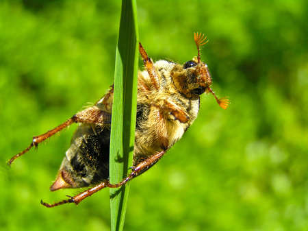 May-bugs work great mischief to plants. They eat their leaves.