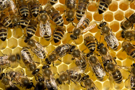 Bees convert nectar into honey and close it in the honeycomb,
