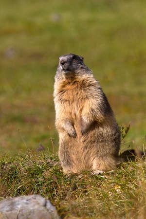 Marmot at Gran Paradiso