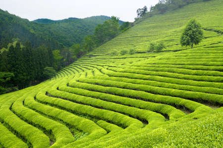 Photo for Green tea plantation in South Korea - Royalty Free Image