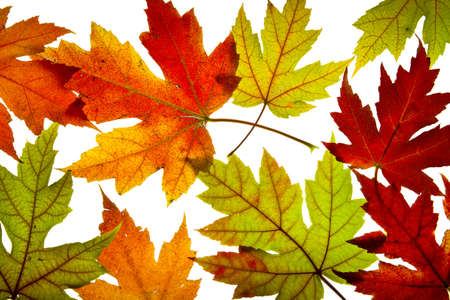 Maple Leaves Mixed Changing Fall Colors Background Backlit