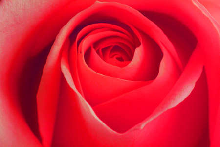 Photo for 1st Chakra (ROOT) rose for reiki healing and meditation, Red colour is for the root chakra and also grounding ones self. The photo can be used in the home or office. - Royalty Free Image