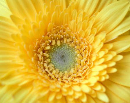 Photo pour Yellow Gerbera flower centre closeup looks amazing - image libre de droit