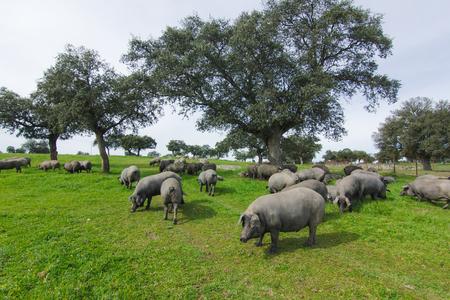 Iberian pig herd pasturing in a green meadow.