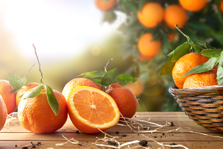 Foto de Oranges group freshly picked in a basket and on a brown wooden table in an orange grove. With a tree and garden background with afternoon sun. Horizontal Composition. Front view. - Imagen libre de derechos