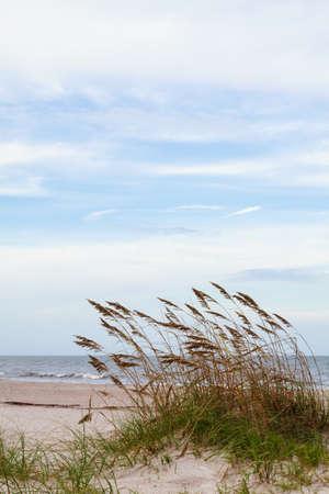 Sea oats blowing in the ocean breeze