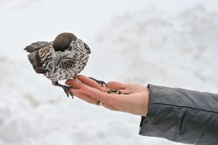 Photo pour motley bird nutcracker takes nuts from his hand - image libre de droit