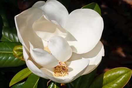 A white magnolia flower on a tree