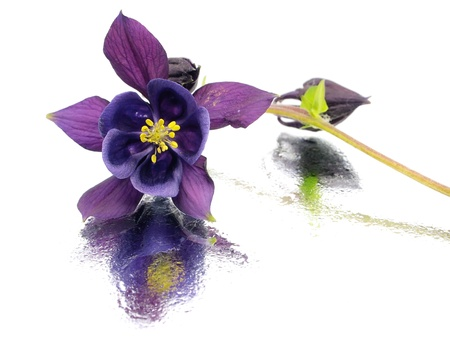 blue columbine - aquilegia flowers on a white background with water drops