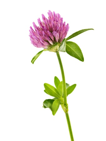 Clover flowers on a white background
