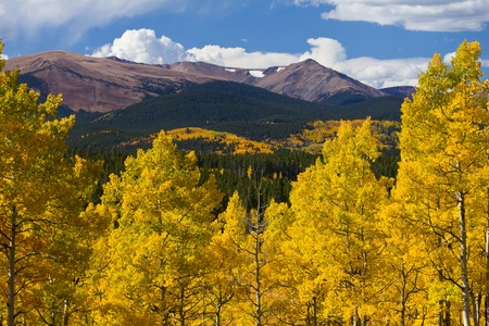 Golden Aspens In The Rockies