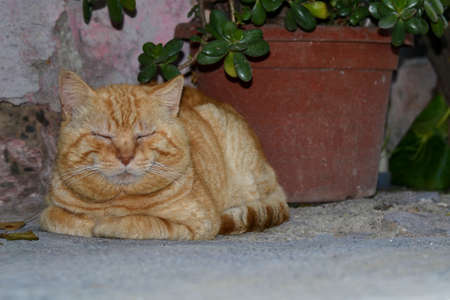 Foto per red cat resting with closed eyes crouching on a cool stone floor in the shadow of a plant beside the wall of a house - Immagine Royalty Free