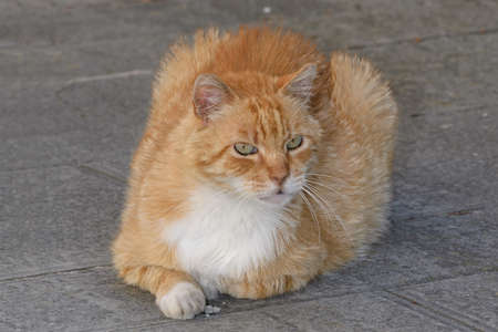 Foto per beautiful red and white cat with green eyes crouching on a stone floor - Immagine Royalty Free