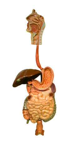 model of the human digestive tract on white background