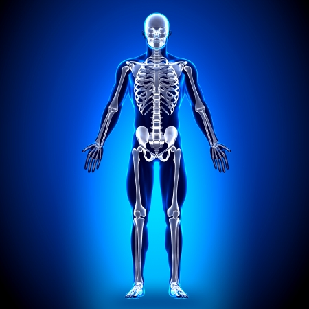 Skeleton Anatomy Bones