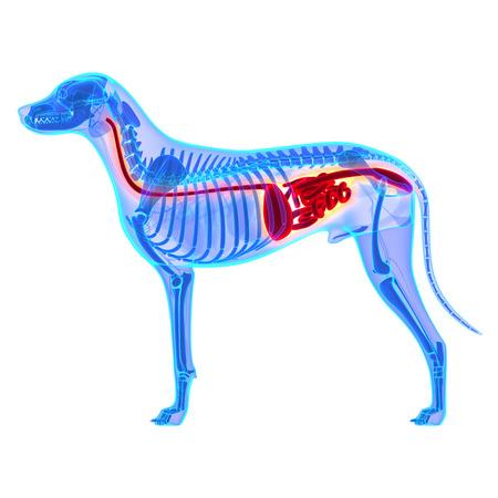 Dog Digestive System - Canis Lupus Familiaris Anatomy - isolated on white
