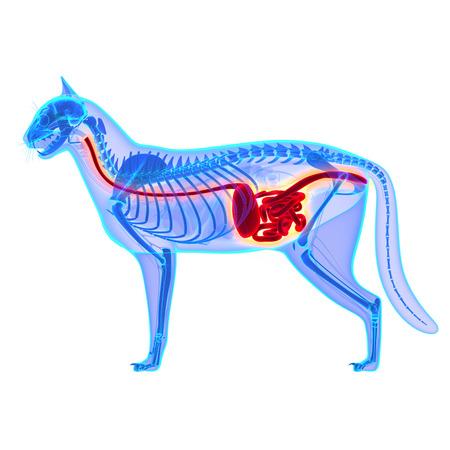 Cat Digestive System - Felis Catus Anatomy - isolated on white