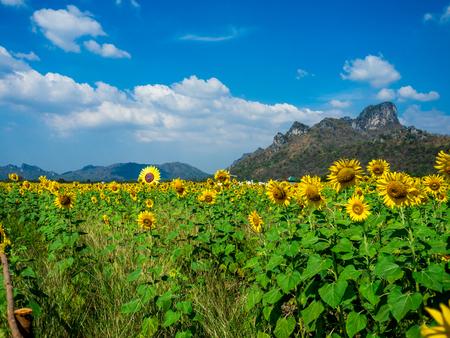 Photo pour Sunflower field, Sunflowers at Khao Jeen Lae, Lopburi Province, Thailand. - image libre de droit