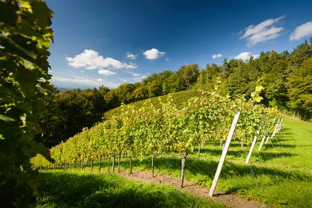 Styrian Tuscany Vineyard at summer  sunset Austria