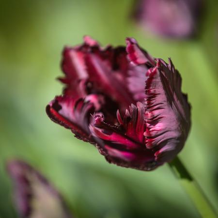 Close up of tulip Black Parrot in garden