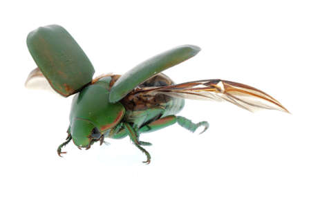 flying insect green beetle (Anomala cupripes) isolated on white background