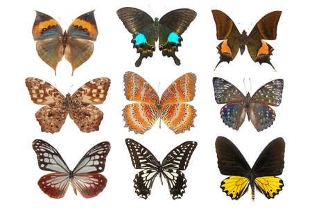 Photo pour butterfly collection isolated on white - image libre de droit
