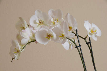 MADRID, SPAIN - FEBRUARY 28, 2016: white orchid on beige background photographed in studio.