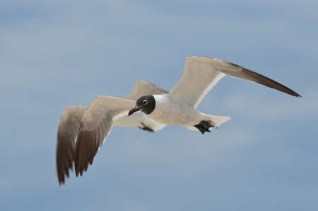 Photo for Two flying laughing gulls in tandem. - Royalty Free Image
