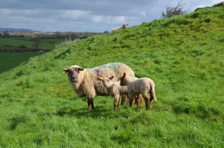 Foto de A mother and her babies wandering in a grassy field - Imagen libre de derechos