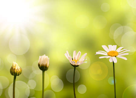 Photo pour Daisies on green nature background, stages of growth - image libre de droit