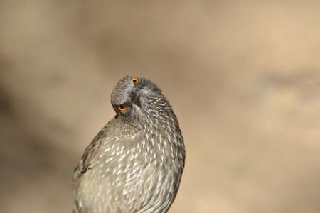 Arrow Marked babbler tilting head