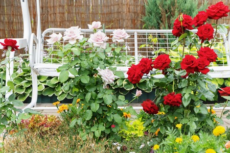 Photo for Flowers in the yard. Rose bushes bloom. Flowers on a background of white swing - Royalty Free Image