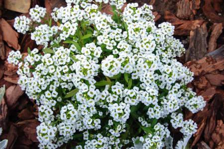 Photo for White alyssum flowers in the summer garden, selective focus. - Royalty Free Image