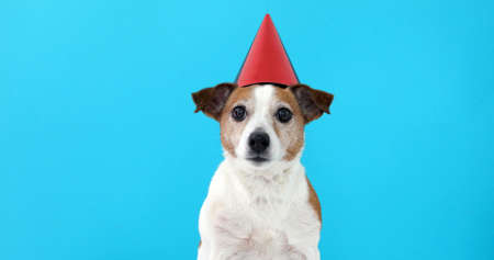 Photo for Cute dog in red party hat Designed colored circles with maker wishes happy birthday blue background studio shot - Royalty Free Image