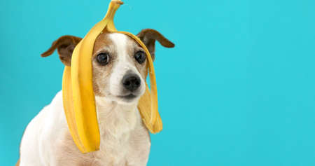 Photo pour Funny Jack Russell Terrier dog with banana peel on its head looking at camera on a blue background - image libre de droit