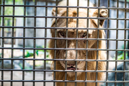 Photo for The sad face of a lion in a cage, the concept of imprisonment, animal mockery - Royalty Free Image