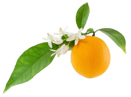 Orange on a branch with leaves and a flowers  Isolated on a white background
