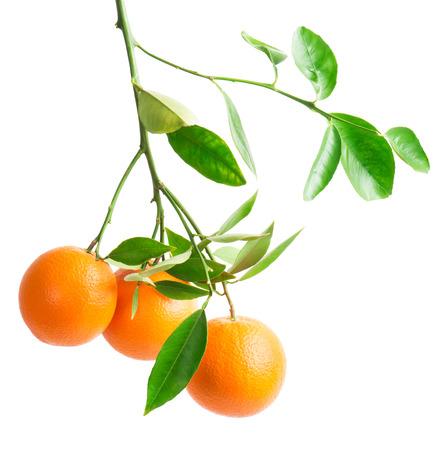 branch with fresh ripe orange fruits, isolated on white background