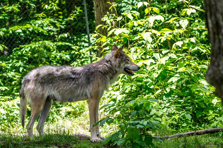 Photo pour Beautiful wild gray wolf in captivity in a park in Quebec. - image libre de droit