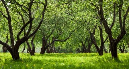 Green Apple Trees In Spring Mural Wallpaper