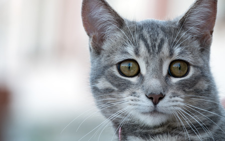 Photo of gray cat close-up. cat muzzle on a blurred background
