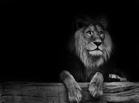 Photo pour Beautiful lion with black backround. Black and white poster lion. - image libre de droit