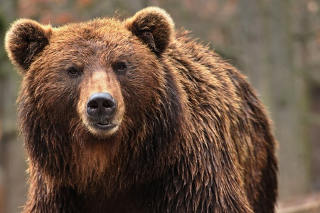 Foto de Animal from class ursine. Big brown bear in forest. Beast of prey  in nature. - Imagen libre de derechos