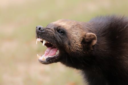 Photo pour Portrait wild wolverine. Portrait from animals world. - image libre de droit