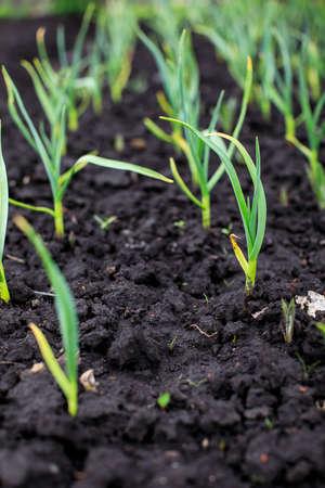 Foto de spring time, spring onion at the allotment.  - Imagen libre de derechos