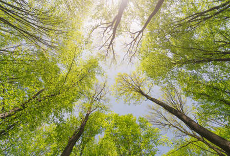 Foto de Looking up forest. Trees with green Leaves. Bottom view background. - Imagen libre de derechos