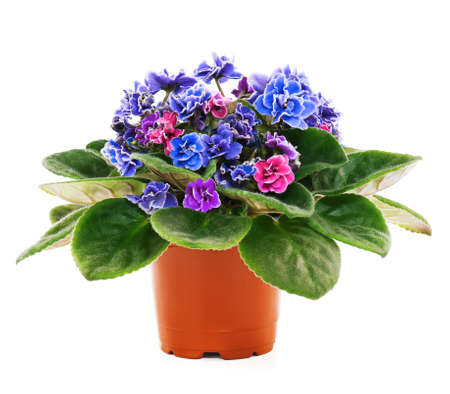 Blossoming violets in flower pot - isolated on white background