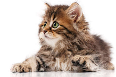 Cute little Siberian kitten isolated on white background