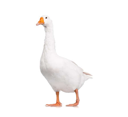 Photo pour White domestic goose isolated on white background - image libre de droit